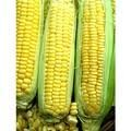 The Dirty Gardener Bi-Color G90 Sweet Corn Seeds, 1 Pound Photo, best price  new 2019