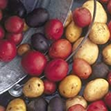 Seed Potato Mix, 5 lbs. Certified Seed Non GMO Red Lasoda, Golden Yukons and Blue Photo, best price $7.49 new 2018