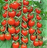 Large Red Cherry Tomato- 75 Seeds Photo, best price $5.39 new 2018