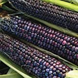 Hopi Blue Flour Corn - 100 Seeds Photo, best price $2.99 new 2020