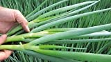 David's Garden Seeds Bunching Onion Parade SL4111PV (Green) 500 Organic Seeds Photo, best price $8.95 new 2019