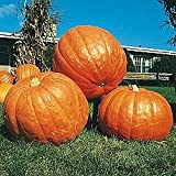 Pumpkin BIG MAX Great Heirloom Vegetable By Seed Kingdom 20 Seeds Photo, best price $0.99 new 2019