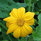 Outsidepride Mexican Sunflower Yellow - 500 Seeds Photo, best price $6.49 new 2018