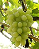 Fruit Grape Seeds 20/Pack Kyoho Grape Seeds Red/Green Mention Child Delicious Nutritious Sweet Natural Snack Organic Seeds for Planting Garden Courtyard (White Seedless Grapes Seeds) Photo, best price $9.99 new 2020