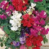 Outsidepride Annual Sweet Peas Mix - 250 Seeds Photo, best price $5.49 new 2018