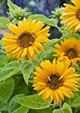 David's Garden Seeds Sunflower Santa Lucia FY9221 (Yellow) 100 Open Pollinated Seeds Photo, best price $6.95 new 2019