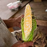 Stonysoil Seed Company Butter and Sugar Corn Seeds Photo, best price $7.95 new 2019