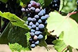 Baco Noir Wine Grape Vine - Plantable Year-Round Photo, best price $4.50 new 2020
