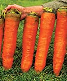 Carrot Giant Seeds Red Vegetable for Planting Giant Non GMO 2000 Seeds Photo, best price $6.98 new 2019