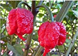 The Best Seller 100 seeds Genuine Fresh Rare Red