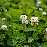 Outsidepride White Dutch Clover Seed: Nitro-Coated, Inoculated - 5 LBS Photo, best price $24.99 new 2020