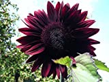 F1 Hybrid Moulin Rouge Sunflower Seeds by Stonysoil Seed Company..Darkest and Most Dramatic Sunflower Photo, best price $7.95 new 2019