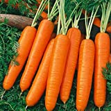 Carrot Scarlet Nantes Non GMO Heirloom Old Time Favorite Sweet Juicy Vegetable 100 Seeds by Sow No GMO® Photo, best price $2.69 new 2019