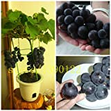 50/bag grape seeds bonsai fruit black grape seeds Dwarf grapes tree easy grow Japanese Dwarf fruit for home garden planting Photo, best price $0.77 new 2018