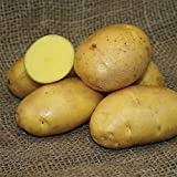 SEED POTATOES - 1 lb German Butterball * Organic Grown * Non GMO * Virus & Chemical Free * Ready for Spring Planting * Photo, best price $8.51 new 2018