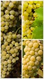 Homegrown Grape Seeds, 20 Seeds, Edelweiss Grape Early Ripening Photo, best price $5.45 new 2019