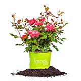 DOUBLE RED KNOCK OUT ROSE - Size: 1 Gallon, live plant, includes special blend fertilizer & planting guide Photo, best price $45.78 new 2018