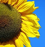 Mongolian Giant Sunflower 20 Seeds - Huge Seeds - Tall Photo, best price $2.20 new 2018