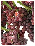 Homegrown Grape Seeds, 20 Seeds, Tickled Pink Grape Cold Hardy Photo, best price $5.40 new 2019