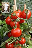 Summer Sweet Cherry Tomato (Organic) Tomato 150 Seeds By Jays Seeds Upc 650327337497 + 1 Free Plant Marker Photo, best price $4.99 new 2018