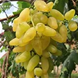 New Golden Green Sweet Grape Organic Seeds, Professional Pack, 15+ Seeds Photo, best price $5.71 new 2019