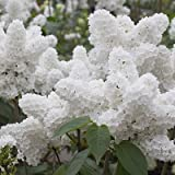25 White Japanese Lilac Seeds (Extremely Fragrant)/ Photo, best price $0.50 new 2018
