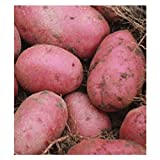 5 lb. SEED POTATOES - Red Pontiac - Organic - ORDER NOW for FALL PLANTING Photo, best price $12.99 new 2019