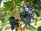 Vitis vinifera Merlot WINE GRAPE Seeds! Photo, best price $1.80 new 2019