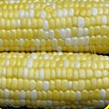 100 Peaches & Cream Hybrid Sweet Corn Seeds - Gold Vault Jumbo Photo, best price $3.00 new 2018