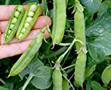 David's Garden Seeds Pea Wando SV1520B (Green) 100 Open Pollinated Seeds Photo, best price $8.45 new 2018