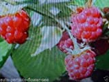 WILD RED RASPBERRY BUSH FRUIT BERRY SEEDS START YOUR OWN SWEET 'WILD RASPBERRY! Photo, best price  new 2018