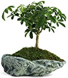 Natural Elements Rock Planter (Basin) – Realistic woodland-themed with intricate stone detail + Fiber Soil + moss mulch. Grow succulents, cactus, African Violets and bonsai. Striking in any décor. Photo, best price $18.99 new 2018
