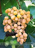 New Rare Yellow Red Cluster of Grape Organic Seeds, Professional Pack, 15+ Seeds / Pack Photo, best price $5.09 new 2018