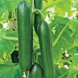 Mid-Eastern Beit Alpha Cucumber Seeds by Stonysoil Seed Company Photo, best price $8.15 new 2020