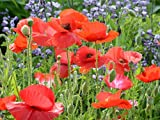Red Corn Poppy Flower Seeds (Papaver Rhoeas), 0.5 OZ, 100,000+ Seeds by Seeds2Go Photo, best price $5.58 new 2020