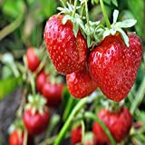 Mara Des Bois French Everbearing Strawberry 10 Plants - BEST FLAVOR! - Bare Root Photo, best price $9.85 new 2018