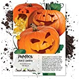 Package of 100 Seeds, Jack O' Lantern Pumpkin (Cucurbita pepo) Non-GMO Seeds by Seed Needs Photo, best price $3.85 new 2019