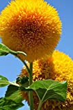 Sunflower Seeds 20/Pack (Helianthus annus) Organic Non-GMO Home Garden Sunny Sun Flower Seeds Open Pollinated Seeds for Planting (Teddy Bear Sunflower) Photo, best price $9.99 new 2019