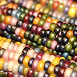 Bornbayb 100 Pcs/Pack Sweet Corn Seeds Non-GMO Seeds Indian Fruit Corn Seeds, 4 Varieties Photo, best price $2.88 new 2018