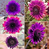 50pcs Purple Rare Sunflower Mixed Seeds Bonsai Charming Potted Annuus Helianthus Garden Flower Plant for Home Garden Planting Photo, best price $1.99 new 2018