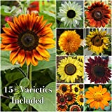 Package of 250 Seeds, Sunflower