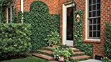 Creeping Fig Plant Ficus Pumila Climbing Vine Qty 30 Live Fully Rooted Plants Photo, best price $69.99 new 2019