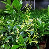 Ohio Grown Night Blooming Jasmine Plant - Cestrum nocturnum - 4