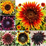 Package of 10,000 Seeds, Double Dance Mixed Sunflower (Helianthus annuus) Non-GMO Seeds by Seed Needs Photo, best price $5.12 new 2018