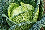 Cabbage Seeds - Savoy Perfection - Heirloom - Liliana's Garden Photo, best price $5.99 new 2018