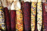 Indian Corn Seed by Stonysoil Seed Company Photo, best price $7.95 new 2018