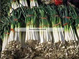 Perennial Green Onion Scallion Seeds Chinese Japanese Welch Bunching Permaculture-80 seeds in foil seed pack Photo, best price $4.99 new 2018