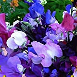 Everwilde Farms - 50 Knee High Mix Sweet Pea Wildflower Seeds - Gold Vault Jumbo Seed Packet Photo, best price $3.00 new 2018