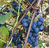 Concord Grape Seeds (Vitis labrusca 'Concord') 10+ Organic Michigan Concord Grape Vine Seeds Photo, best price $5.79 new 2018