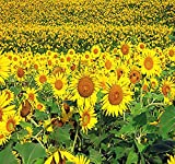 200 PEREDOVIK Sunflower Seeds ~ Game Birds & Deer Favorite~ PLOT FOOD WILDLIFE ~ Photo, best price $6.95 new 2019